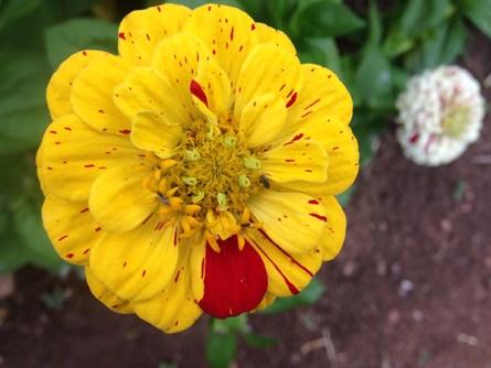 zinnia_yellow_red streaked