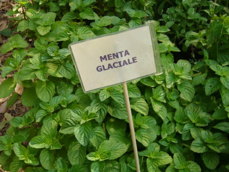13 giugno 2004  La menta  Giardinaggio Irregolare