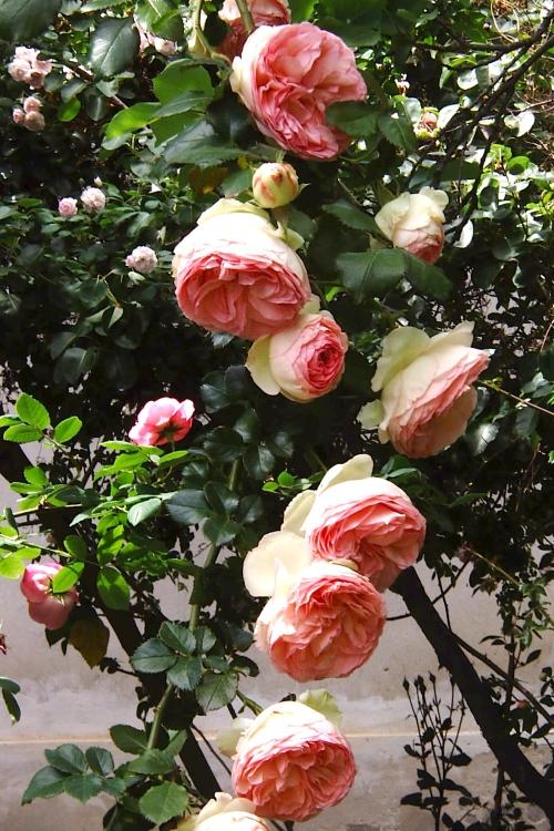 Rosa Pierre de Ronsard  Giardinaggio Irregolare