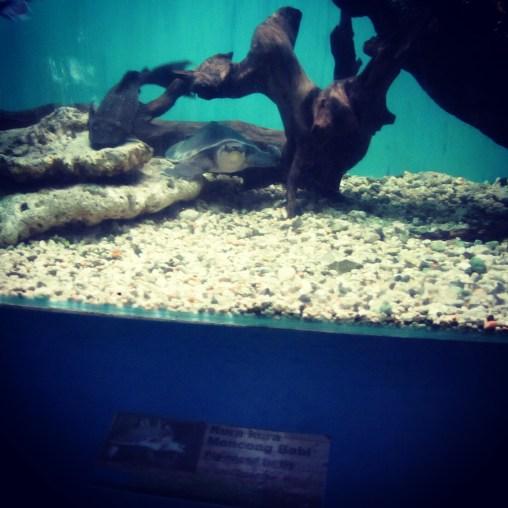 The memorable pig-nosed turtle in the aquarium