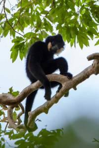 Make Gibbon