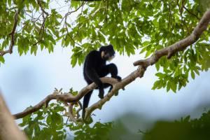 Male Gibbon