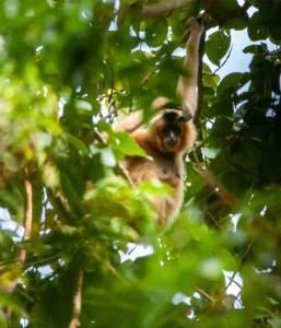 Female gibbon in the tree