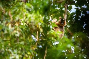 Female Gibbon