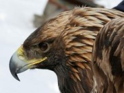 Max, Golden Eagle captured and tagged in Andes, NY