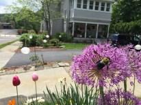 IMG_5087-bgm-allium-bee