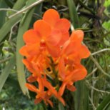 Singapore Botanic Gardens - Orchids - Orange Rounded