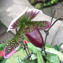 Singapore Botanic Gardens - Orchids - White, Purple, Green with Cup and Dots