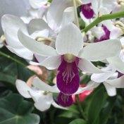 Singapore Botanic Gardens - Orchid - White & Purple