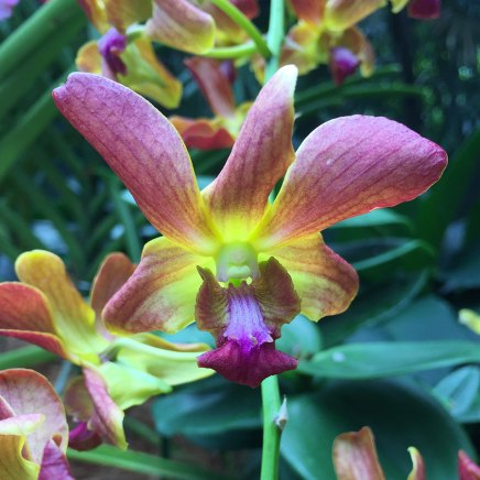 Singapore Botanic Gardens - Orchids - Pink with Yellow Sunburst
