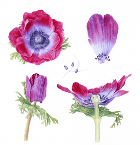 Small format artworks are flatbed scanned ready for giclee printing.Illustration, Anemone by Carolyn Jenkins