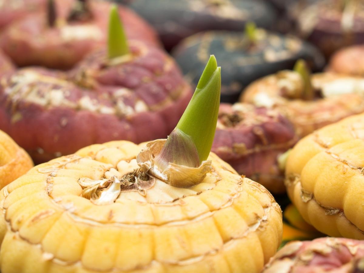 Семена гладиолусов 19 фото как выглядят семена и как собрать Выращивание и размножение семенами в домашних условиях Уход за гладиолусом
