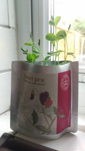 Sweet pea shoots