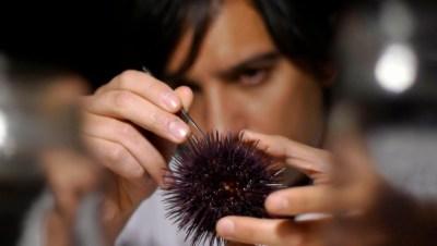 Sea Urchin (8)