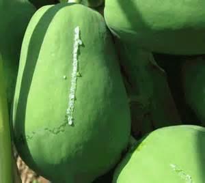 青木瓜綠茶椰子湯 - 痛風人之寶