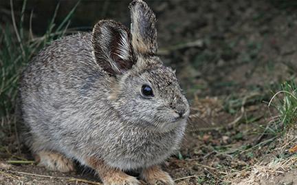 adopt a pygmy rabbit