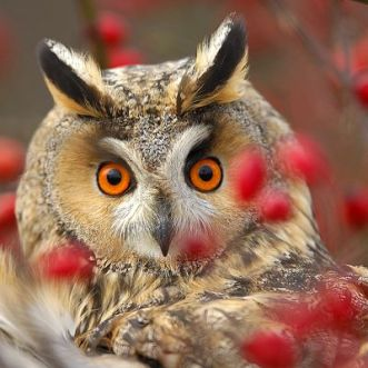 Owl glare
