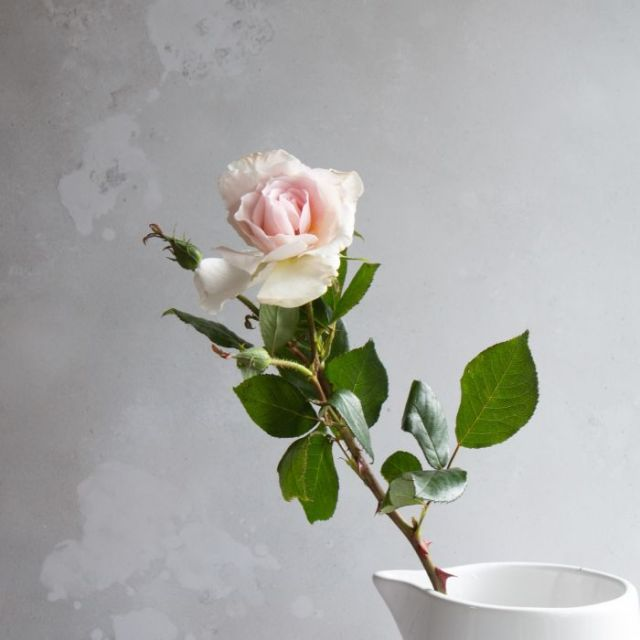 The Real Flower Company a whiter shade of pale gift boxed rose