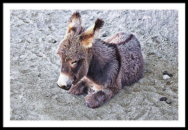Baby burro framed art print by Tatiana Travelways