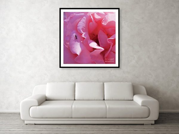 Spanish pink rose art print framed on the wall, by Tatiana Travelways