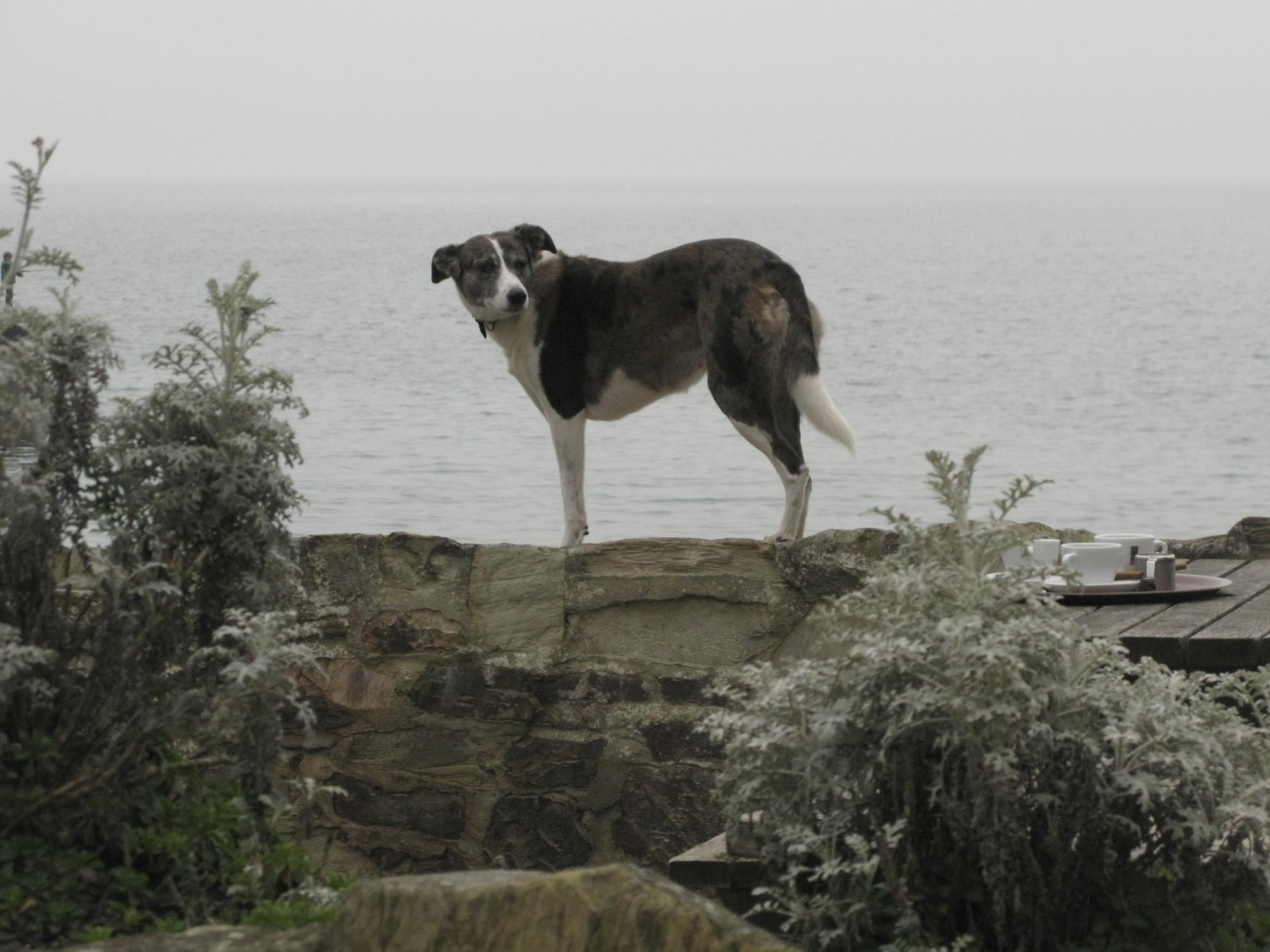 Sea Loving Dog Walking The Wall