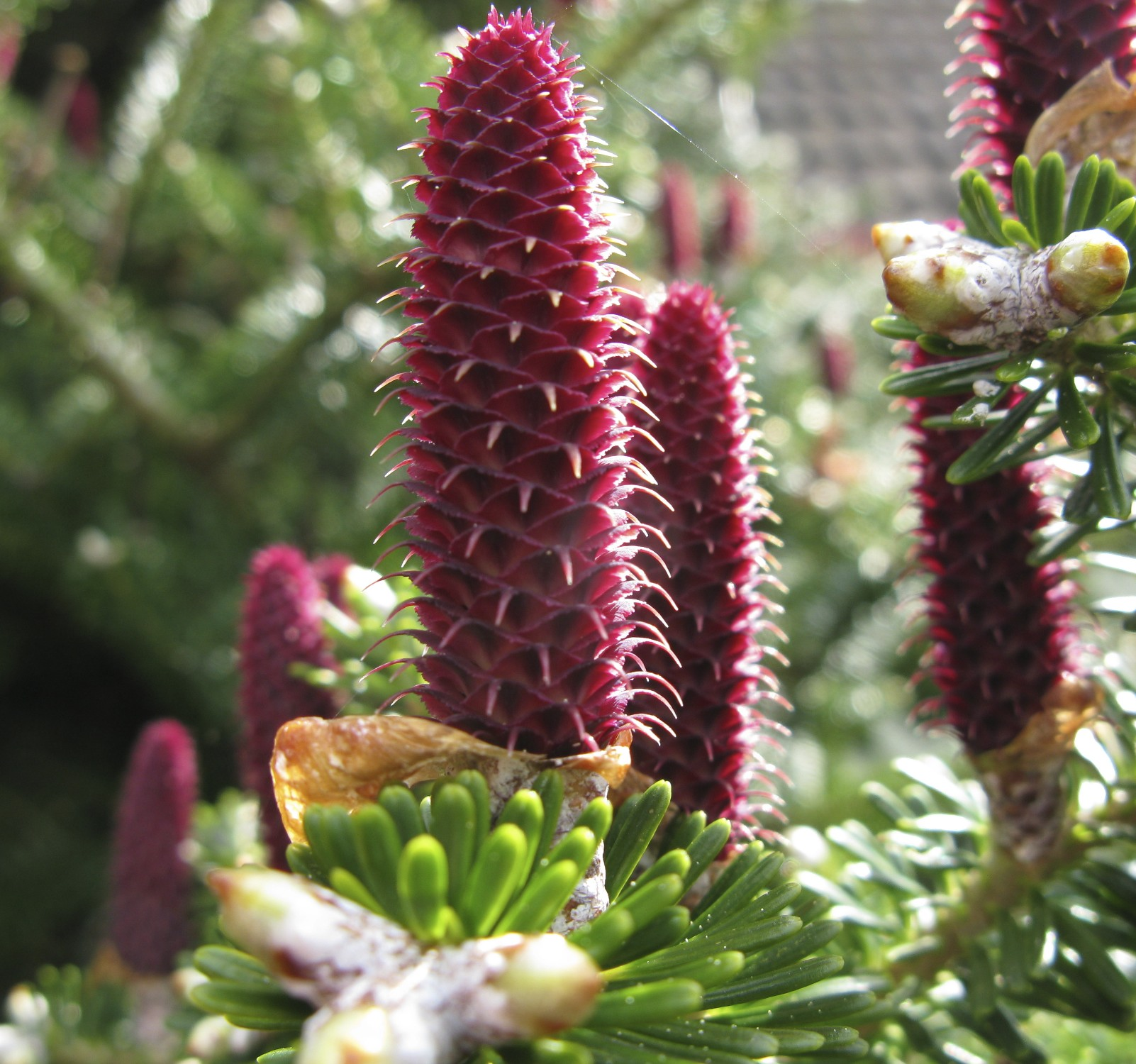 More Growing On The Pine