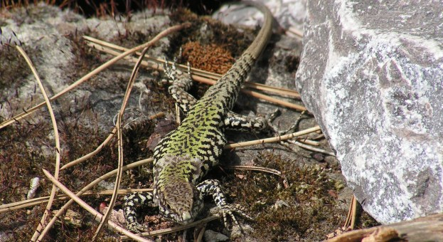 Wall Lizard by Martin Gibson