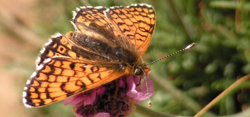 Glanville Fritillary (Melitaea cinxia)