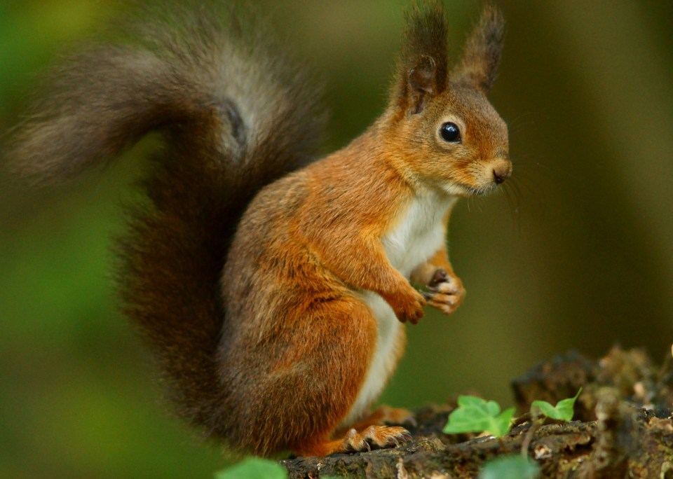 Red Squirrel - Peter Trimming