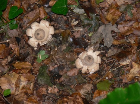 Earthstar fungi, The Landslip