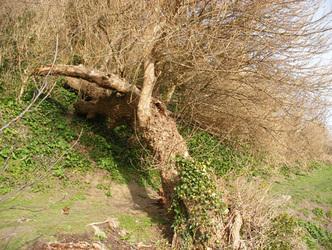 Black Poplar at Flowers Brook, Ventnor