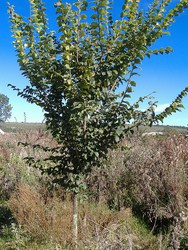 disease resistant elm tree