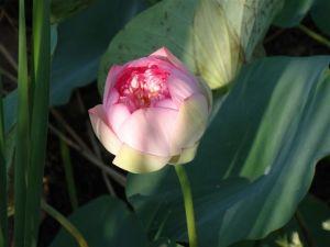 Die Lotusbluehte...