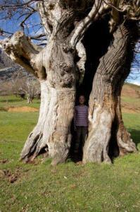 Ein alter Kastanienbaum