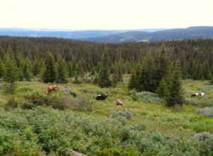 Achtung die Kühe kommen... die fressen uns die Heidelbeeren weg...