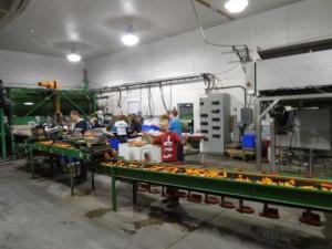 Karotten Farm, Reinigung, Abpacken usw. Die Schüler helfen mit...