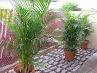 Areca palm trees