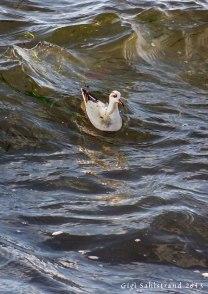 Det var inte lätt att fota den sällsynta lilla brednäbbade simsnäppan i de höga vågorna utanför Trelleborgs hamn.
