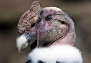andean-condor-1