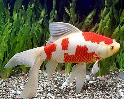 Ikan Komet Dan Ikan Koi Serupa Tapi Tak Sama Gilakoi Com