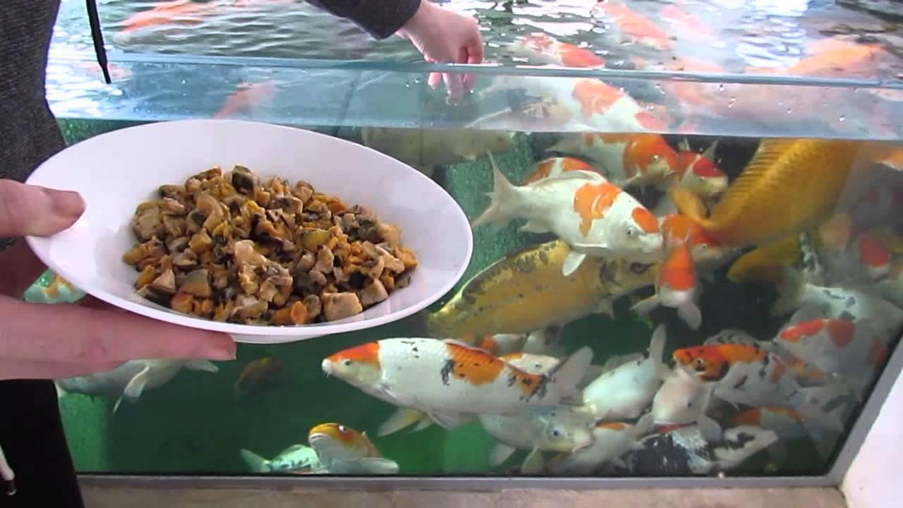 Zat Gizi yang Penting untuk Pakan Ikan Koi!