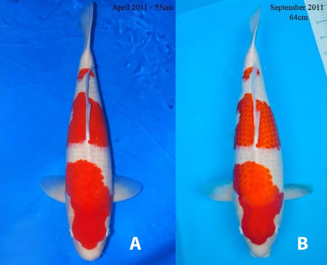 Makanan Ikan Koi Informasi Lengkap Hanya Di Gila Koi