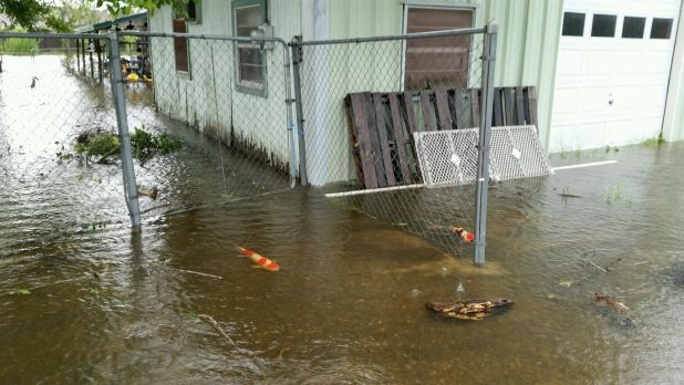 kolam koi banjir