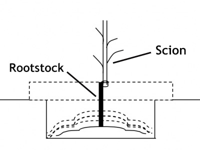 Rootstock & Scion