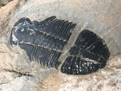 Another trilobite!