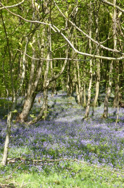 Bluebells are everywhere