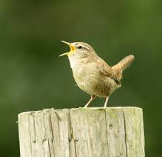 Dawn wren. Photo courtesy MKNHS.org.uk