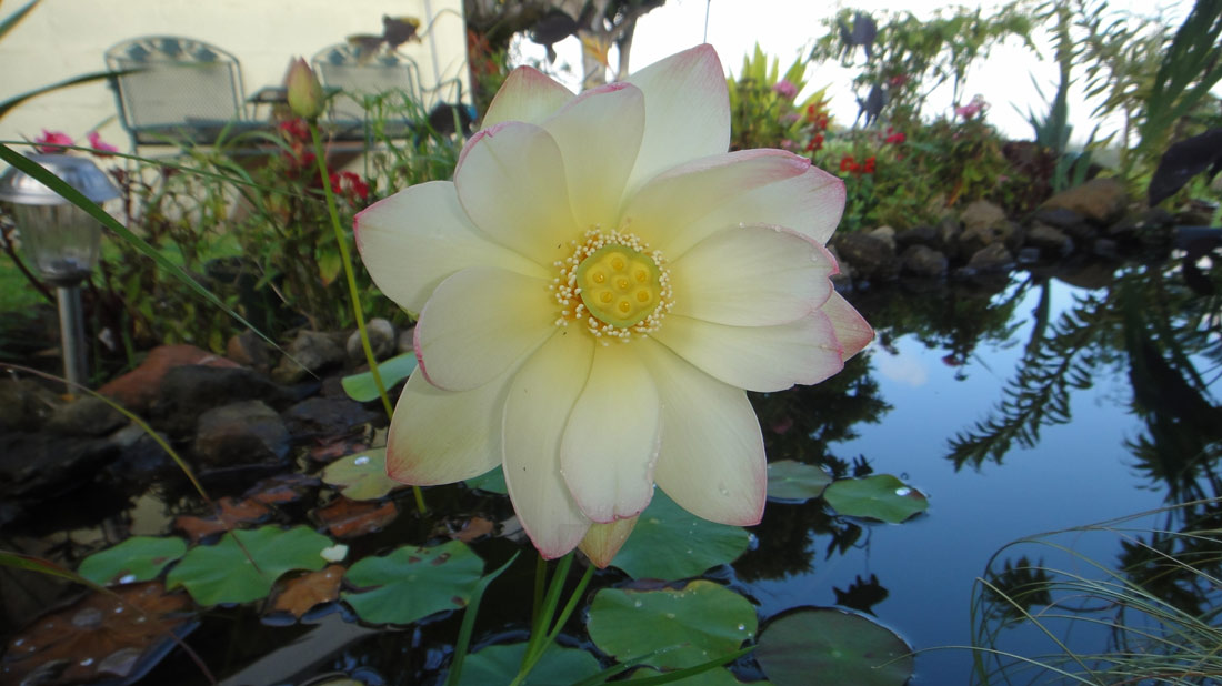 Another blessing! Our first Lotus flower