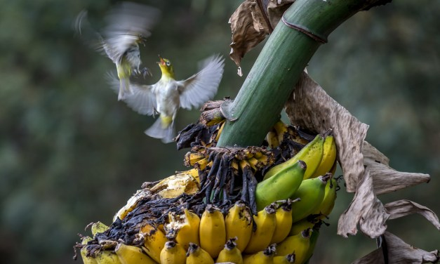 Our Banana Birds