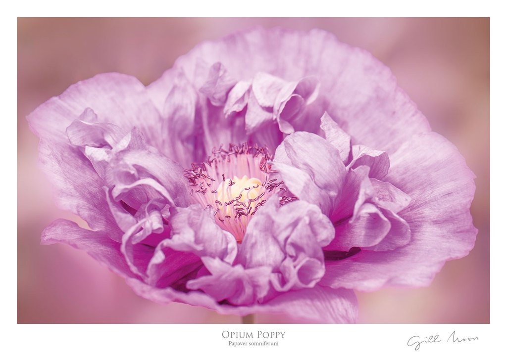 Gill Moon Photography - Floral